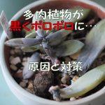 多肉植物の夏は厳しい!霜の朝が黒くポロポロに…その原因と対策