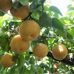 フルーツパーク古賀志でブドウ&梨狩り!入場料無料の量り売り