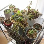 昨年失敗した多肉植物の冬越しに成功!室内管理で試してみた方法