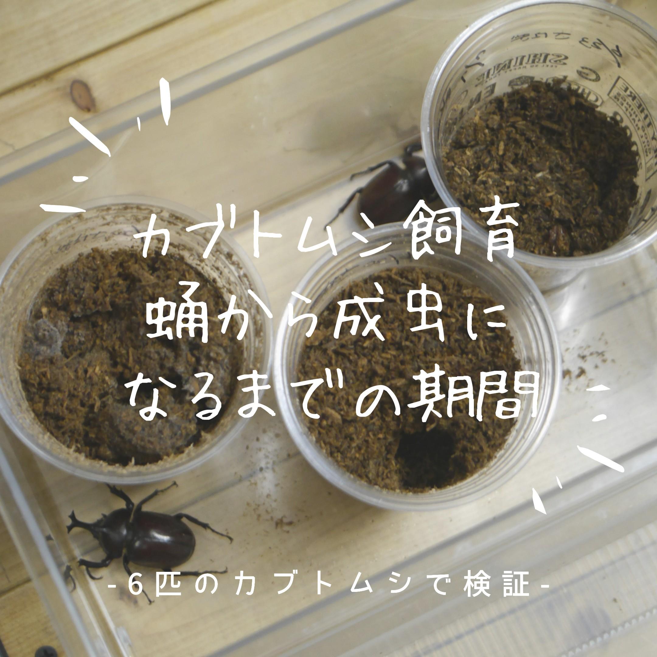 カブトムシの飼育で蛹から成虫になるまでの期間を検証